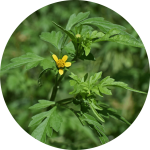 Image of ragweed. A potential tooth pain trigger as described by your biological dentist in Lincoln, NE.